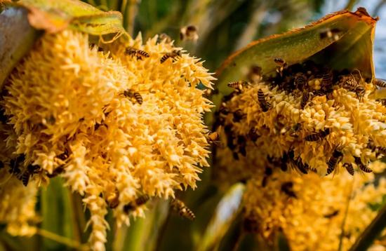 Пальмовая пыльца: польза и вред для организма