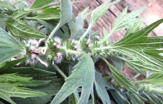 Вред сердечной травы