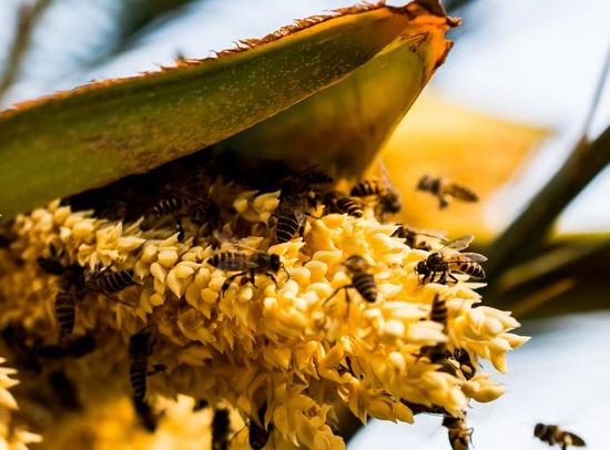 Пальмовая пыльца: польза и вред