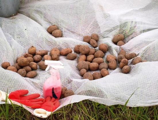 Обработка картофеля «Престижем» - вред или польза
