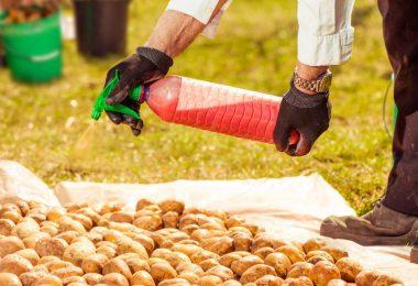 «Табу» для картофеля: вред для здоровья человека